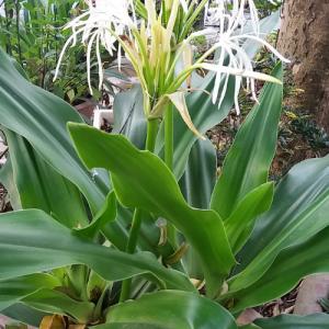 Náng hoa trắng cây phong thủy