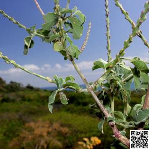 cỏ xước chữa corona xuantoan.com