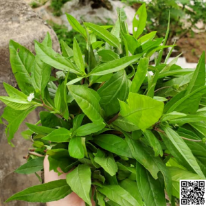 cỏ nhọ nồi chữa corona covid xuantoan.com